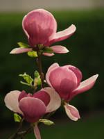 magnolie by Tiestodj