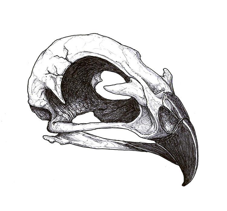 Hawk Skull Tattoo Flash by DickStarr on deviantART