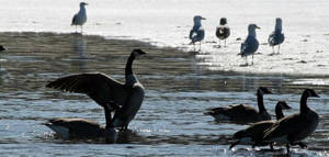 Lake Geese by martyf81