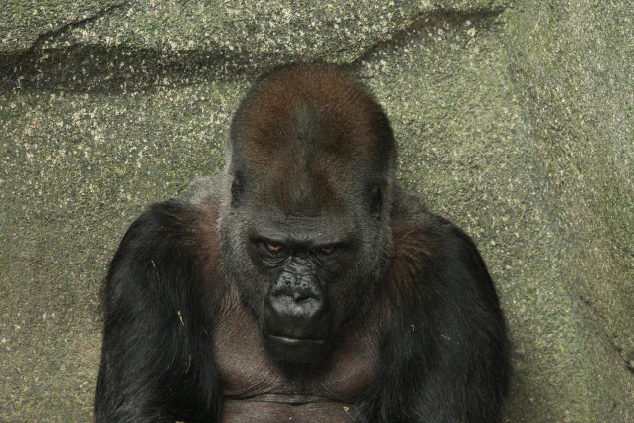 Angry_Gorilla_by_martyf81.jpg