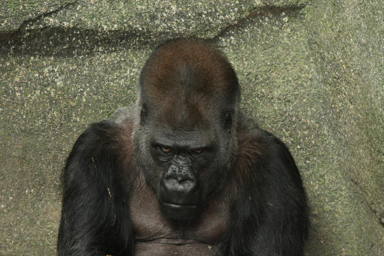 Angry Gorilla by martyf81