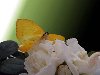 mariposa y flor by ingenierocuevas