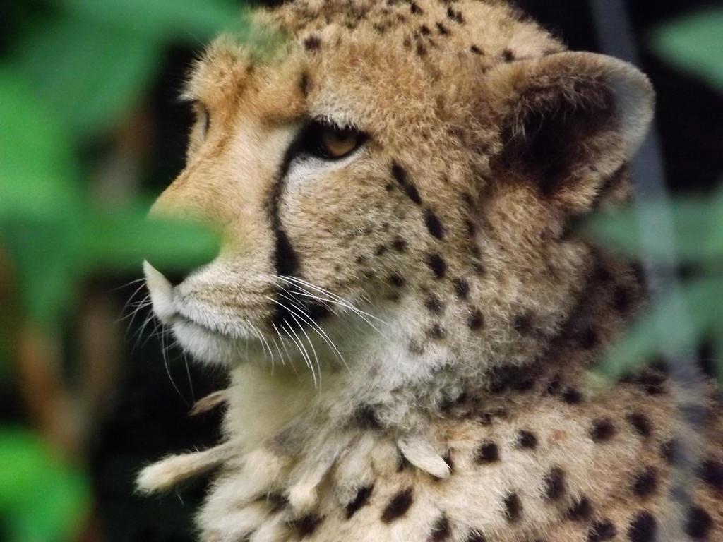 Cheetah by NobodySin
