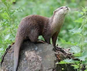 Otter..