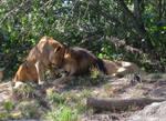 Lion Cuddle