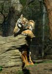 Baby Tiger 3