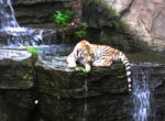 Baby Tiger with Waterfall 3