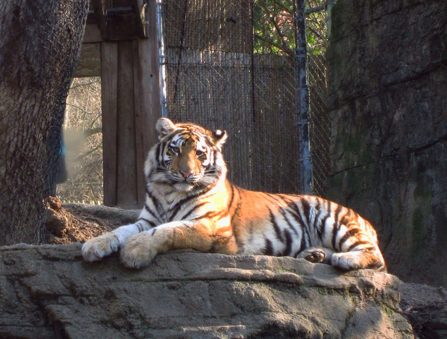 Amur Tiger on Rock