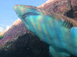 Rainbow Sand Tiger Shark