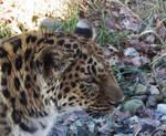 Amur Leopard Closeup