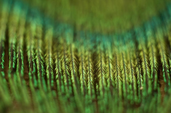 Peacock Feather by FreeSpirit-Stock
