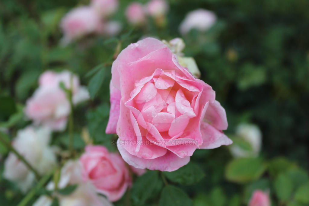 Prince's Island Roses