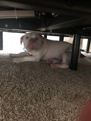Dogger under the bed