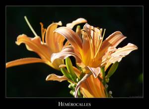 Hemerocalles