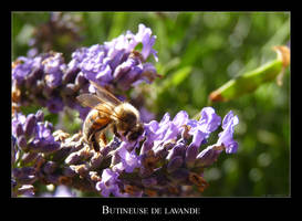 Bee on the lavender by lasaucisse