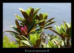 Fleur de montagne II
