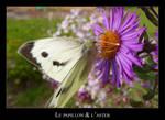 Le papillon et l'aster