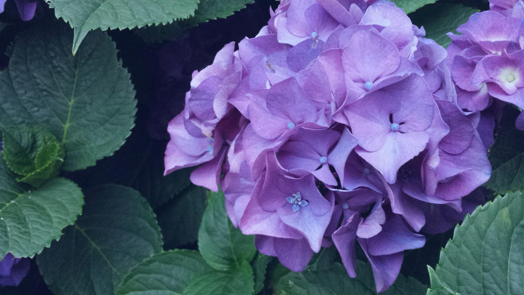 Purple Hydrangeas by thatonetulip