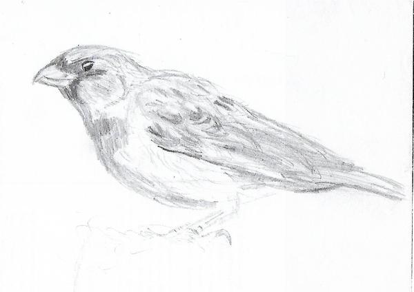 Sparrow by joga-maciejsdottir