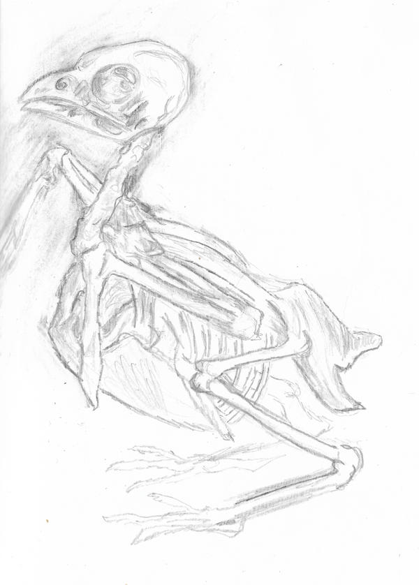 Sparrow skeleton sketch by joga-maciejsdottir