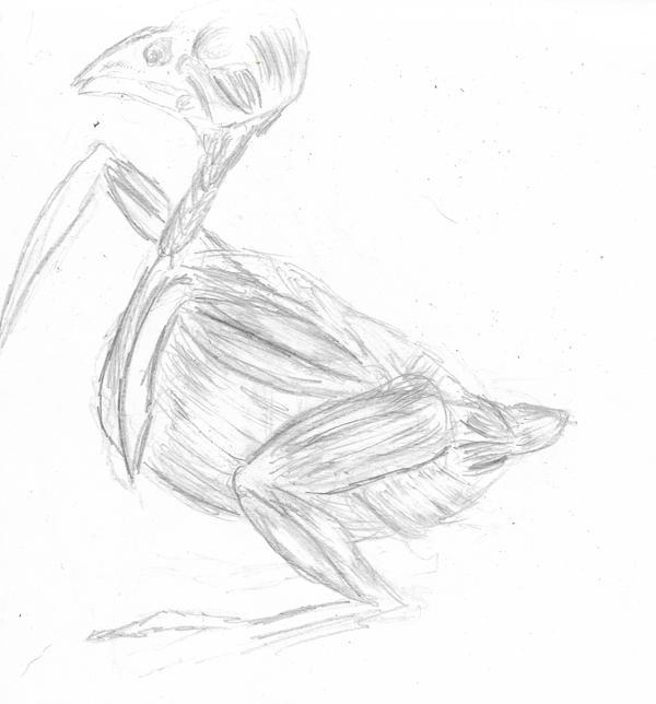 Sparrow muscles sketch by joga-maciejsdottir