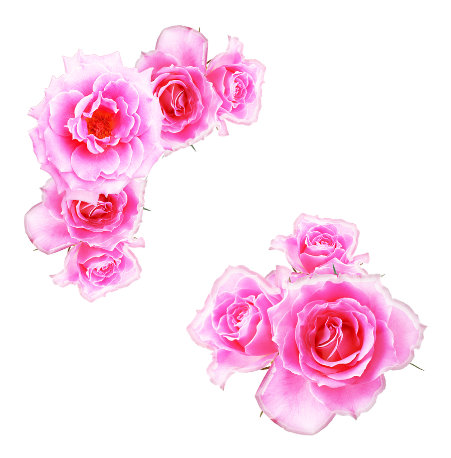 Bright pink roses png by melissa tm on deviantart bright pink roses png by melissa tm mightylinksfo Image collections
