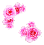 bright pink roses png