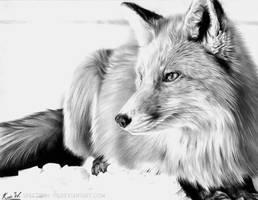 Red Fox in Graphite