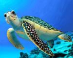 Ohi I'ma turtle