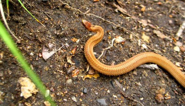 Baby Brown Snake By Sugarcoat On Deviantart