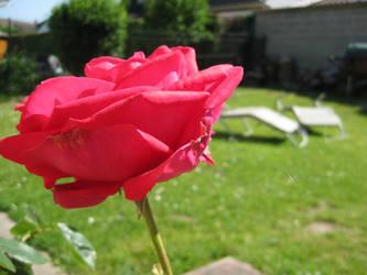 Flower rose II by Gotier