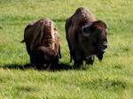 Buffalos by RakdosS