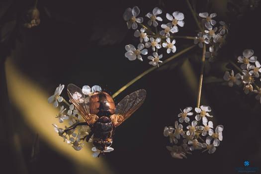 Project 365 - #306 - Little bee by Kiotho