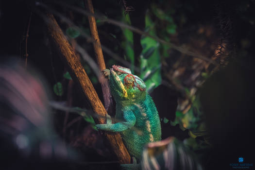 The colorful chameleon