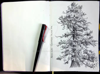 Silver fir in pen and ink