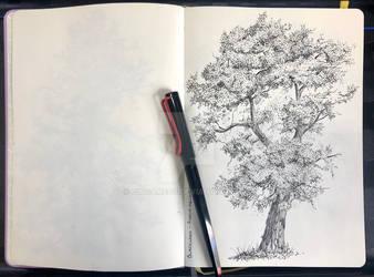 Blackwood Acacia