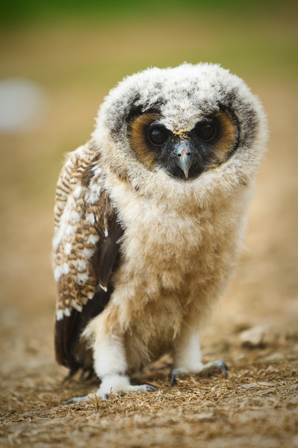 Owl Chick by PeteLatham