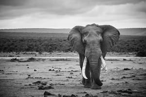 Tusker by PeteLatham