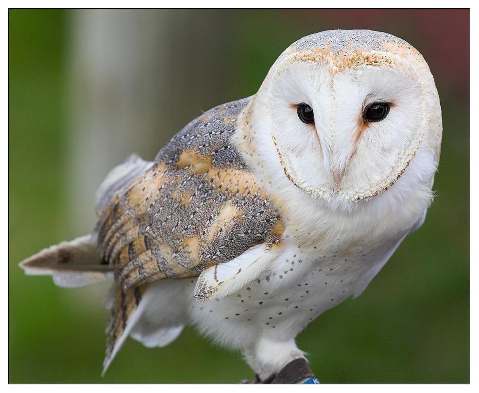 Barn Owl By Petelatham On Deviantart