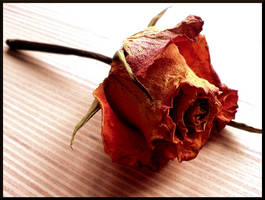 Dried rose by blejs