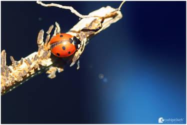 Ladybug I by strehlistisch