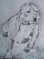 American Pitbull Terrier by sadlion