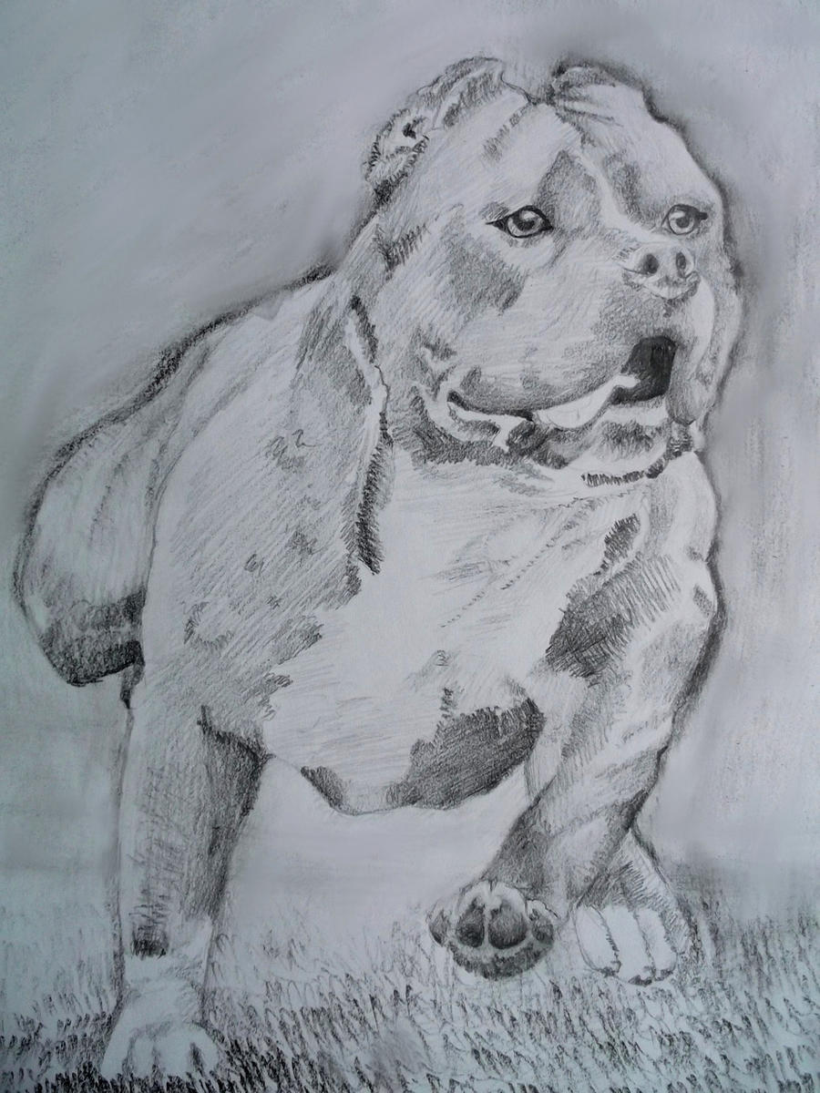 American Pitbull Terrier by sadlion on DeviantArt