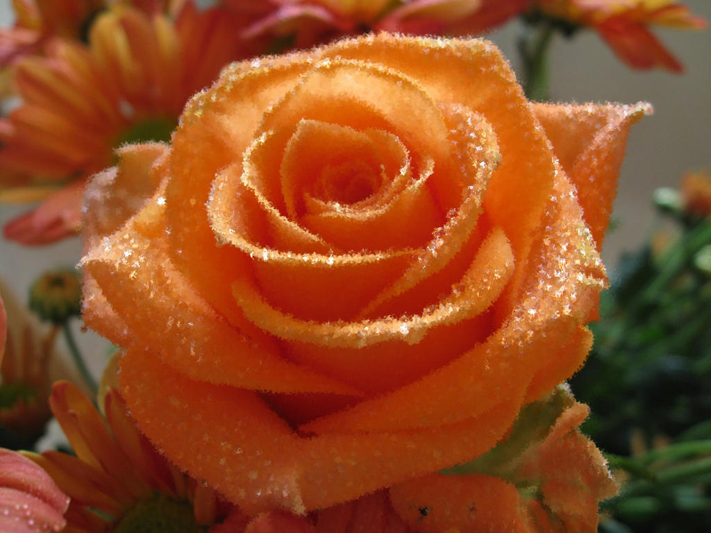 Orange Rose by rerief