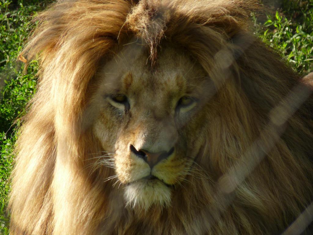 Sad Lion by Xemun