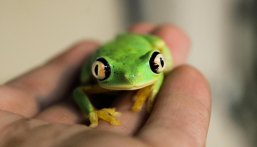 Lemur Tree Frog by loveorcaz