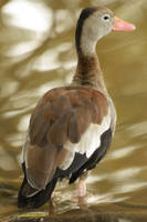 Black-bellied Whistling-Duck by BrunoDidi