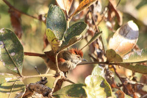 Sooty-fronted Spinetail by BrunoDidi