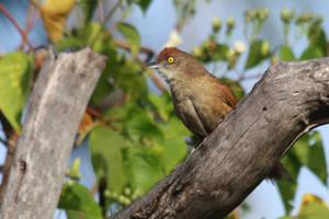Greater Thornbird by BrunoDidi