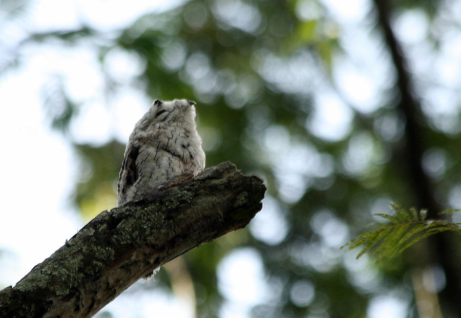 Common Potoo by BrunoDidi
